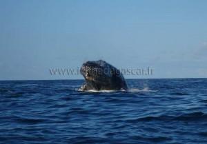 Une baleine de Sainte-Marie prend le soleil.