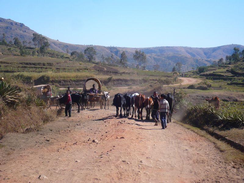 Des hommes emmenant des zébus sur le chemin de Betafo