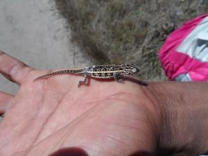 Un petit caméléon, vu au pays Zafimaniry