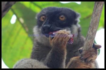 Un lémurien en plein repas à Nosy tanikely