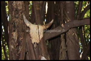 Un crâne de Zébu sacrifié à l'arbre sacré de Hellville, Nosy Be