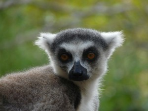 Le maki, lémurien symbole de Madagascar