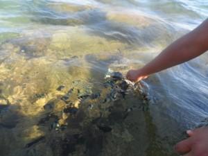 Essayer de nourrir les poissons ...